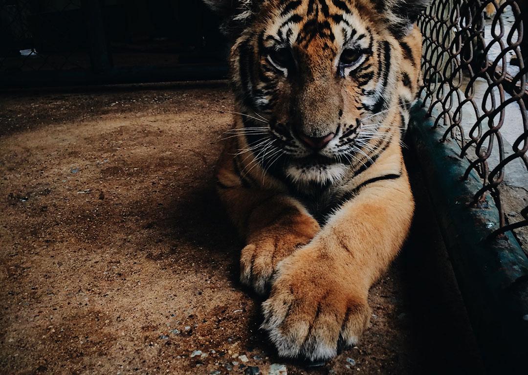 Concrete Tiger